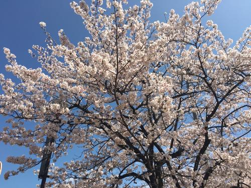 高校入学式 桜と青空とJK